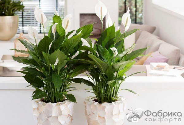 Цветок спатифиллум - правильный уход