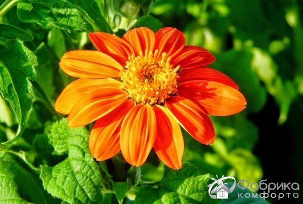 Титония – выращивание и правильный уход