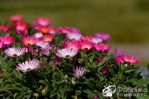 Доротеантус: выращивание и правильный уход