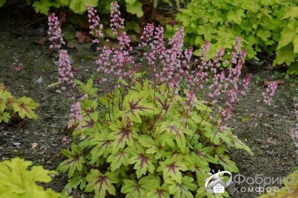 Гейхерелла: выращивание и правильный уход