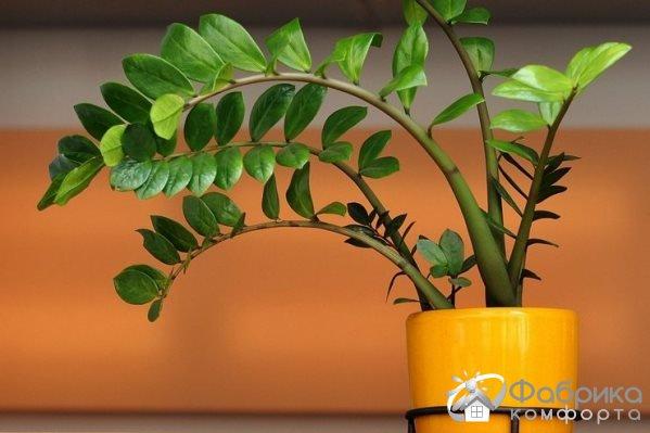Замиокулькас (Долларовое дерево) - выращивание и правильный уход