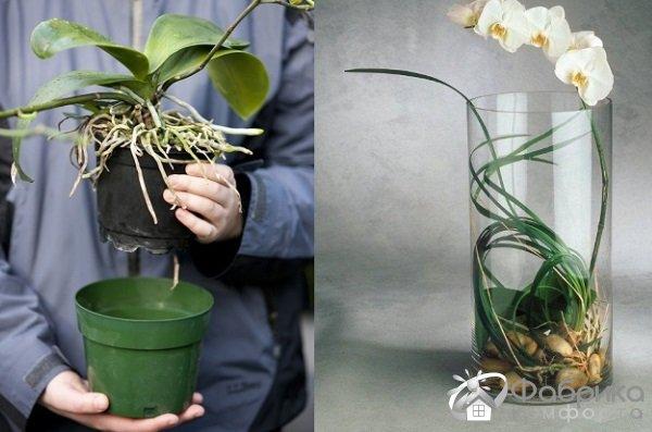 Как правильно пересадить орхидею: советы