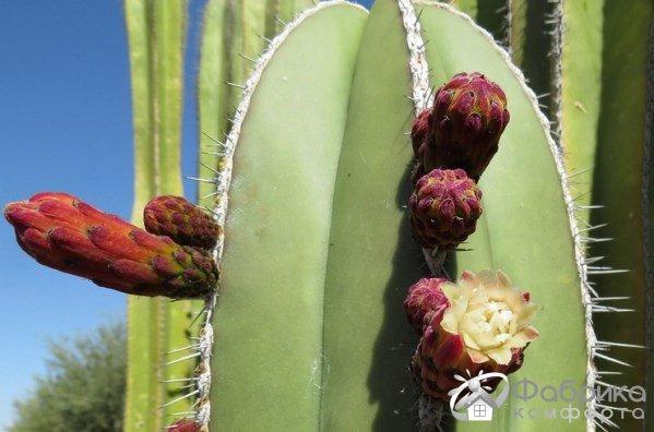 Лемэроцереус: выращивание и правильный уход