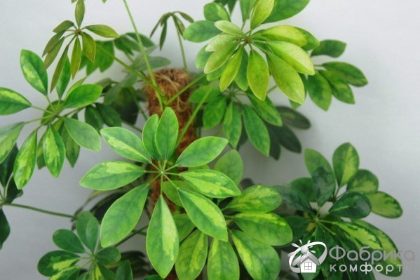 Гептаплеурум: выращивание и правильный уход
