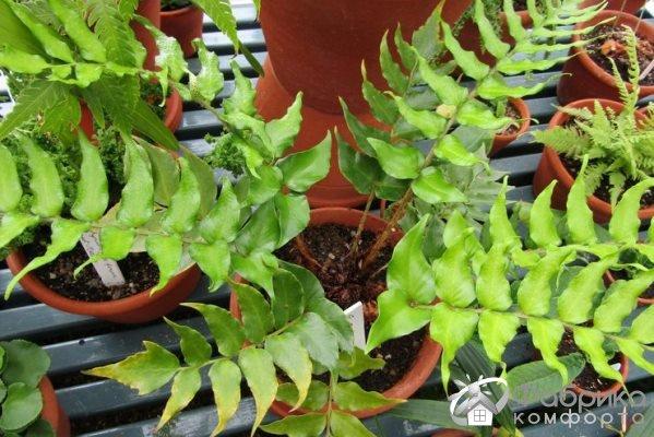 Циртомиум: выращивание и правильный уход