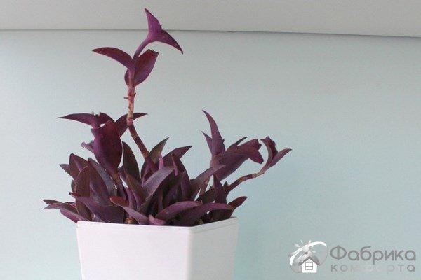 Сеткреазия пурпурная: выращивание и правильный уход