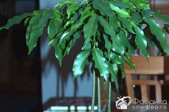 Кастаноспермум (комнатный каштан):  выращивание и правильный уход