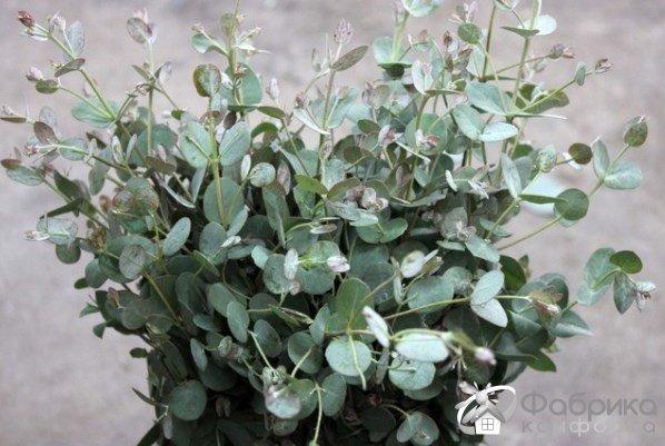Комнатный эвкалипт: выращивание и правильный уход