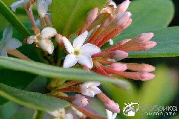 Акокантера: выращивание и правильный уход