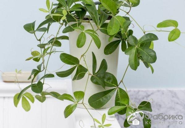 Роициссус: выращивание и правильный уход