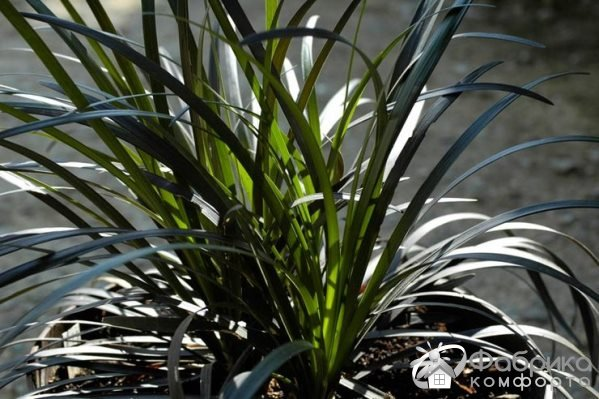 Офиопогон японский: выращивание и правильный уход