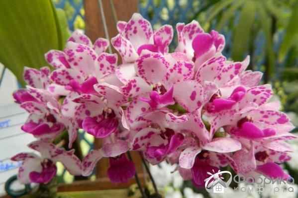Ринхостилис орхидея: выращивание и правильный уход