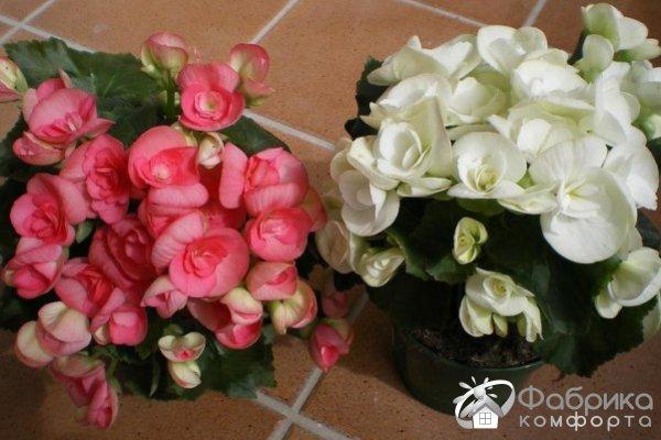 Бегония Элатиор: выращивание и правильный уход