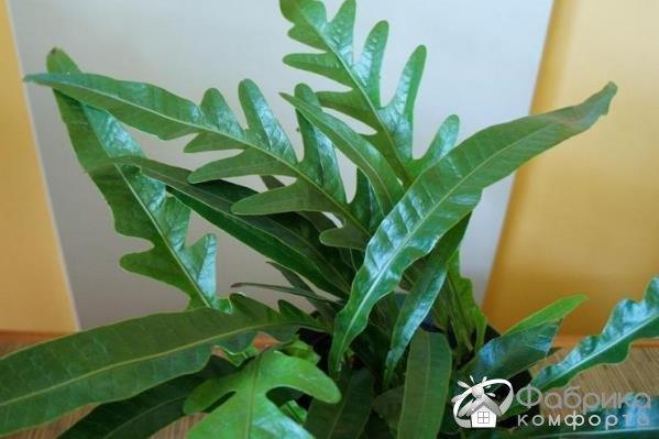 Аглаоморфа: выращивание и правильный уход