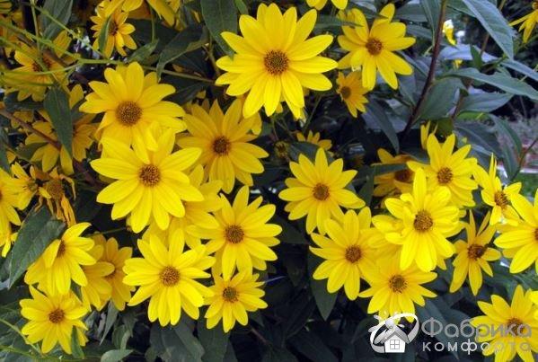 Гелиопсис: выращивание и правильный уход