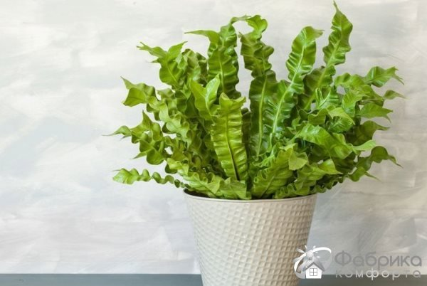 Листовик сколопендровый: выращивание и правильный уход