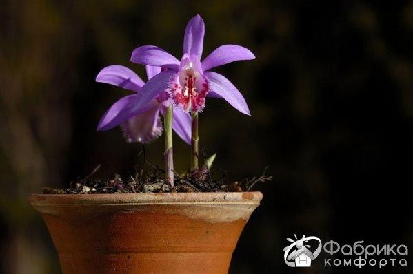 Орхидея плейоне: выращивание и правильный уход