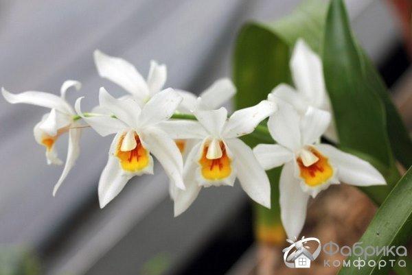 Орхидея целогина: выращивание и правильный уход