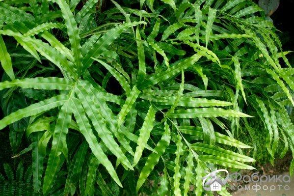 Птерис: выращивание и правильный уход