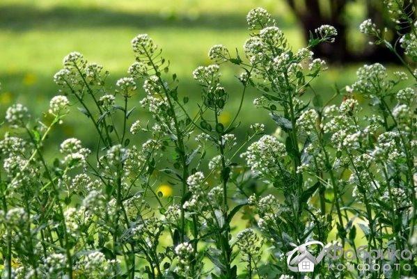 Ярутка полевая: выращивание и правильный уход