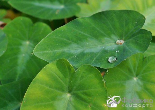 Колоказия: выращивание и правильный уход