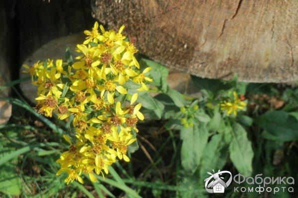 Золотарник: выращивание и правильный уход