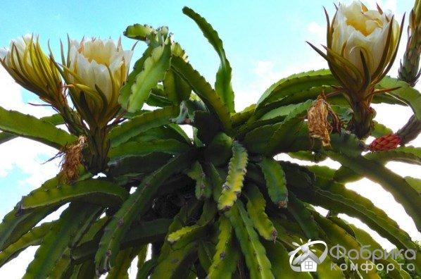 Гилоцереус: выращивание и правильный уход
