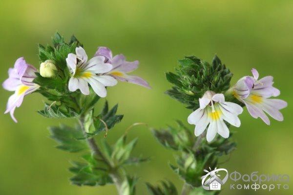 Очанка: выращивание и правильный уход