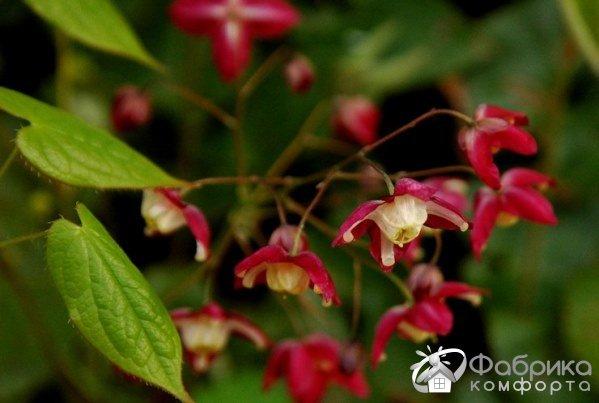 Горянка: выращивание и правильный уход