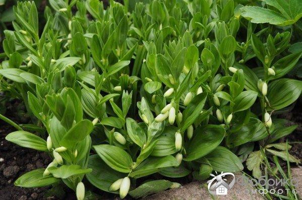 Купена: выращивание и правильный уход
