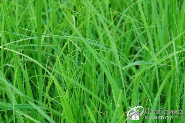 Мятлик: выращивание и правильный уход