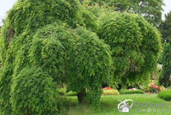 Софора японская: выращивание и правильный уход