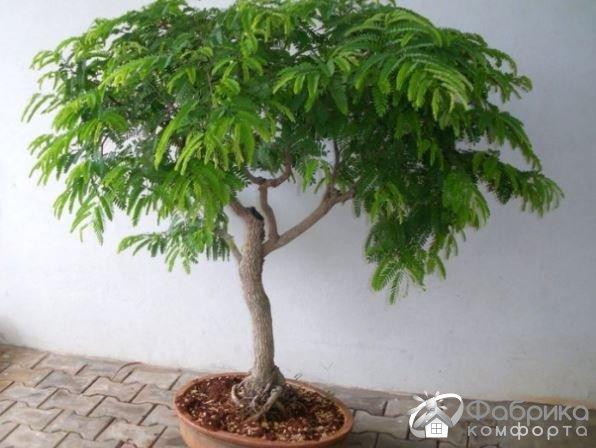 Тамаринд: выращивание и правильный уход