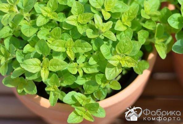 Майоран: выращивание и правильный уход