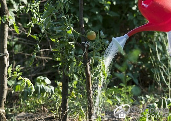 Чем поливать помидоры для быстрого роста и завязи