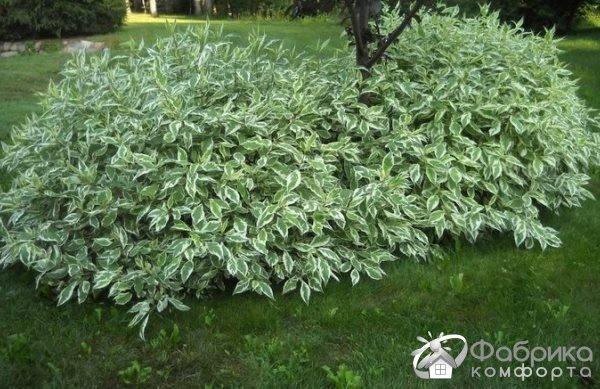 Дерен белый: выращивание и правильный уход