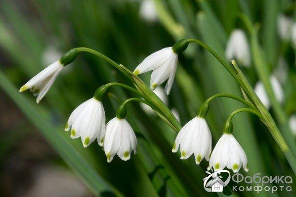 Белоцветник: выращивание и правильный уход