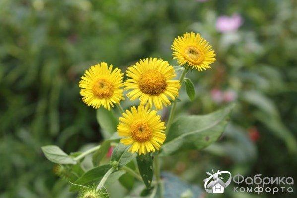 Девясил: выращивание и правильный уход