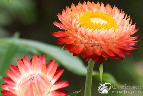 Бессмертник: выращивание и правильный уход