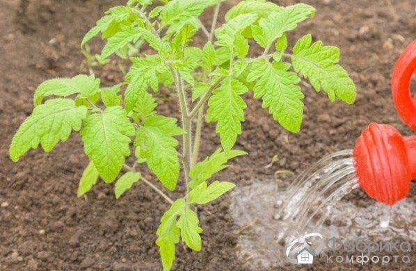 3 варианта подкормки помидор после высадки в грунт