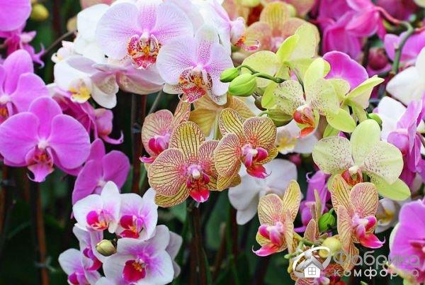 Как защитить орхидею фаленопсис от гнили
