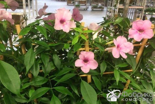Пандорея: выращивание и правильный уход