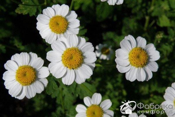 Пиретрум: выращивание и правильный уход