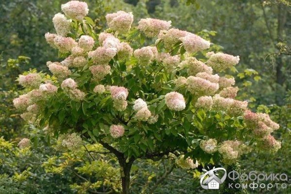 Гортензия метельчатая: выращивание и правильный уход
