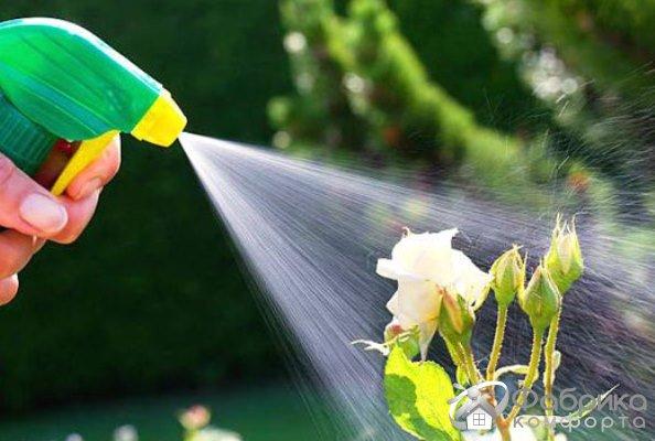 Чем обработать розы от мучнистой росы
