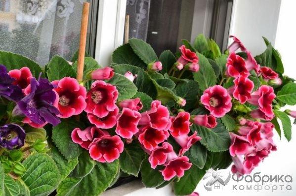 Синнингия: выращивание и правильный уход