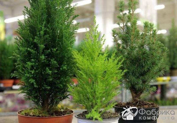 Кипарисовик Лавсона: выращивание и правильный уход