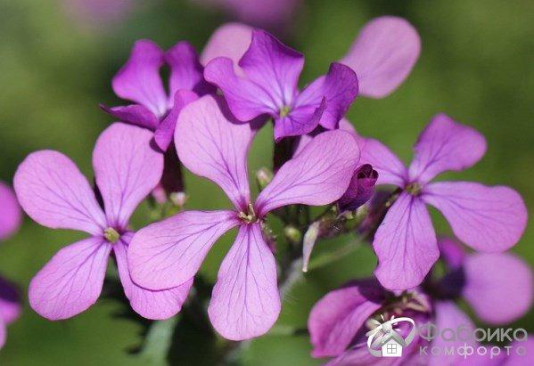 Цветок лунник: выращивание и правильный уход